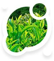 Estratto di foglie di tè verde